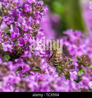 Honeybee sits on a thyme blossom between many blurred flowers - Stock Photo