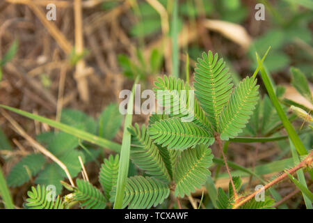 Mimosa pudica or sensitive plant leaves - Stock Photo