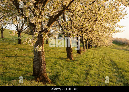 Cherry blossom in Obereggenen, Breisgau, Black Forest, Baden-Wuerttemberg, Germany, Europe - Stock Photo