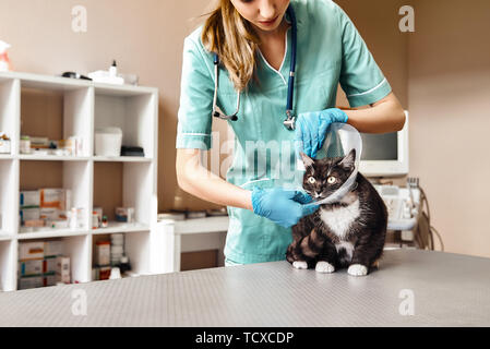 Working process. Female veterinarian in work uniform putting on a protective plastic collar to a large black cat lying on the table in veterinary clin - Stock Photo