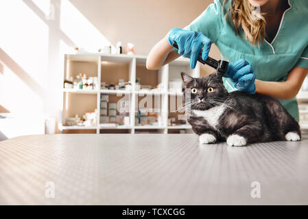 I want to check everything. Young female veterinarian in work uniform checking ear health of a big black cat with a special tool at the veterinary cli - Stock Photo