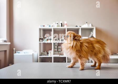 Small, but brave! Portrait of cute little dog standing on the table while visiting veterinary clinic. Medicine concept. Pet care concept. Animal hospi - Stock Photo