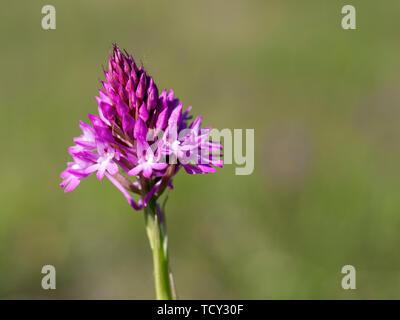 Pyramidal Orchid, Anacamptis pyramidalis. Wild flower. - Stock Photo