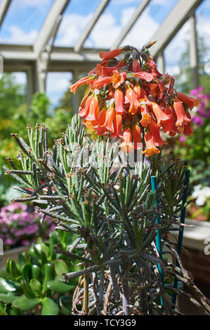 Kalanchoe tubiflora flowers and tiny young plants on the end of the growth - Stock Photo