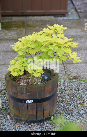 Acer shirasawanum 'Aureum' or Japanese Maple growing in a wooden tub. - Stock Photo