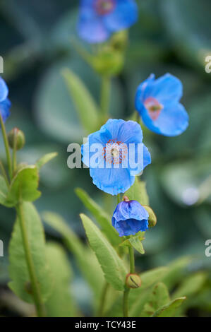 Himalayan Poppy (Mecanopsis) infertile Blue Group. - Stock Photo