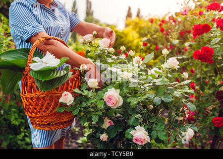 Senior woman gathering flowers in garden. Middle-aged woman cutting roses off. Gardening concept. Lifestyle - Stock Photo