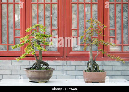 two bonsai trees against a brick wall and red windows in BaiHuaTan public park,Chengdu,China - Stock Photo