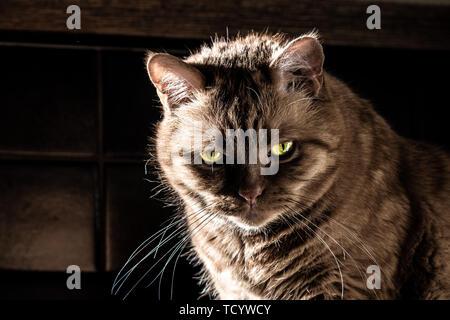 Dangerous looking orange cat with half closed green eyes looking at the camera; bright light illuminating its green eyes and long whiskers; dark shado - Stock Photo