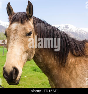 Square frame Close up of a brown horse with black mane beside a barbed wire fence - Stock Photo