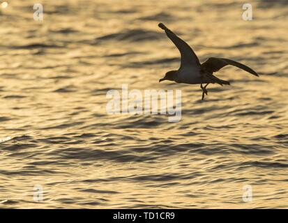 Scopoli's shearwaters Calonectris diomedea at sunset in flight opposite its beeding colony at ta' Cenc cliffs,Gozo, malta, Mediterranean - Stock Photo