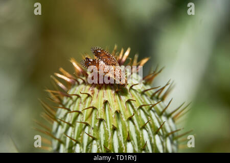 Macro of colorful Paracantha fruit fly on the Cirsium texanum bud - Stock Photo