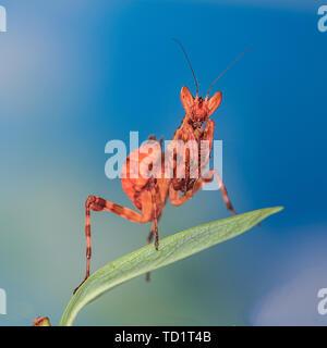 Big-eyed, little mantis. - Stock Photo