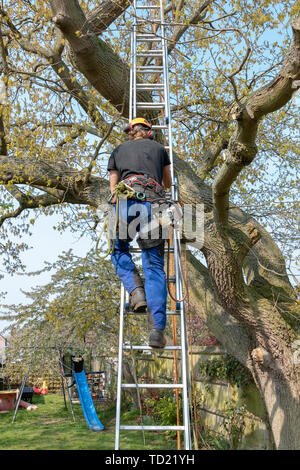 Tree Surgeon or Arborist with a chainsaw and safety ropes uses a ladder to start climbing up a tree. - Stock Photo
