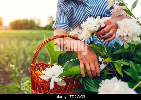 Senior woman gathering flowers in garden. Elderly retired woman cutting peonies with pruner. Gardening concept - Stock Photo