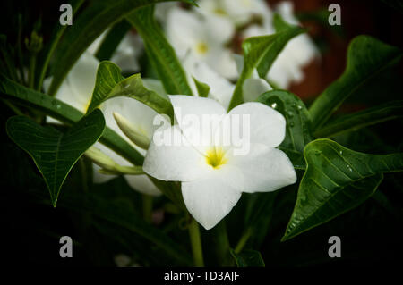 Close up of beautiful white and yellow frangipani plumeria flower on tree with pointed leaves, this scented flower is used in Hawaiian leis. - Stock Photo