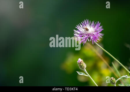 Centaurea montana mountain perennial cornflower in bloom. Purple mountain cornflower flower on a green background. Bee collects nectar on a flower for - Stock Photo