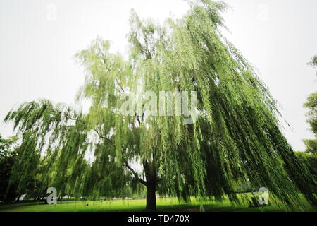 Willow tree in a park with focus on the large hanging branches in the foreground - Stock Photo