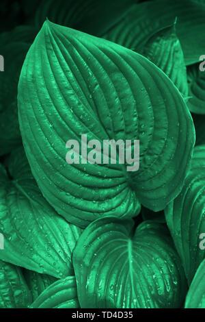 Emerald green hosta leaves in the morning dew in summer garden. Trendy concept - Stock Photo