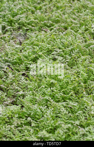 Phacelia tanacetifolia being grown as a green manure. - Stock Photo