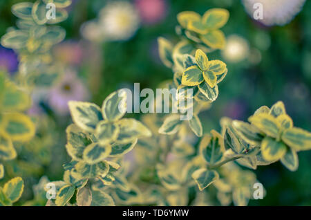 Branch of Euonymus fortunei spindle or Fortune's spindle - Stock Photo