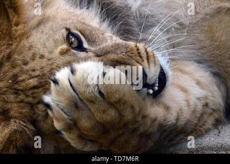 Olomouc, Czech Republic  11th June, 2019  Barbary Lion cub