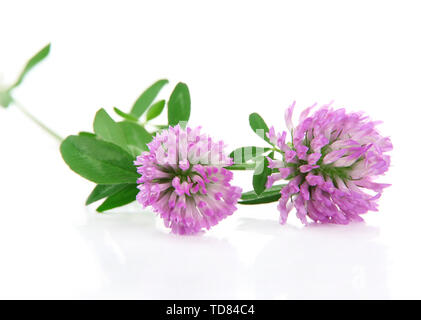 Clover flowers isolated on white - Stock Photo