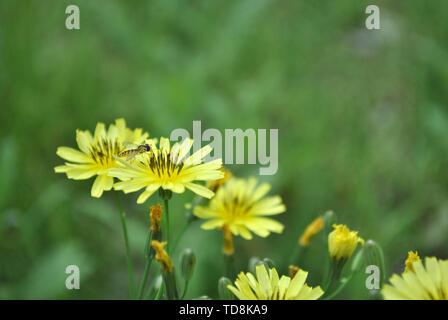 Bees pick honey on dandelion flowers. - Stock Photo