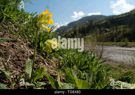 Primula veris; Cowslips on the valley floor near Flums, Swiss Alps - Stock Photo