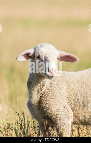 Lamb Grazes in a Meadow, Lamb in a field - Stock Photo