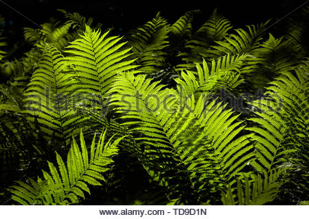 Sunlit ferns in the Carolinian forest in Rouge National Urban Park an urban wilderness inside Toronto Ontario Canada - Stock Photo