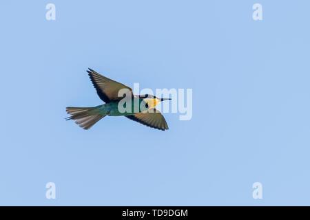 European Bee Eater In Flight (Merops Apiaster) - Stock Photo