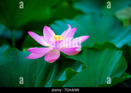 Lotus blooming in lotus leaves - Stock Photo
