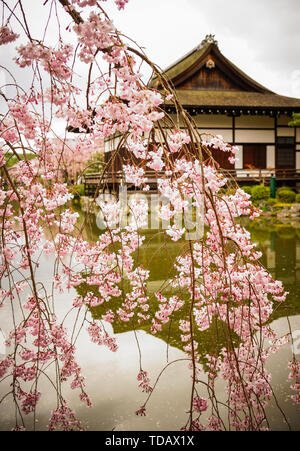 Ancient wooden palace with cherry blossom at Heian Jingu Shrine in Kyoto, Japan. - Stock Photo