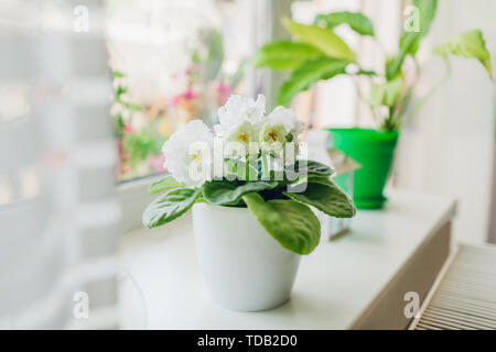 White blooming violet grows in pot on window sill. Home plant blossoms with big flowers. - Stock Photo