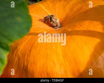 Big orange pumpkins growing in the garden. - Stock Photo