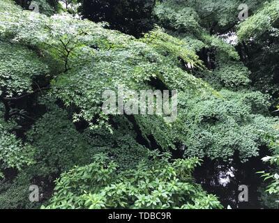 Japanese garden maple tree - Stock Photo