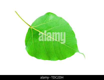 Bodhi leaves - Stock Photo