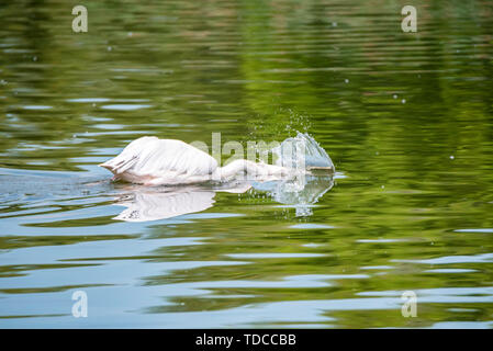 View of beautiful great white pelican or Pelecanus onocrotalus or rosy pelicans hunting with its head in water - Stock Photo