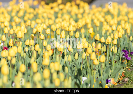 Yelow Tulips on the field with two puprle flowers - Stock Photo