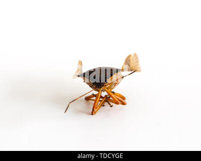 Isolated on white background in the center, small insect Halyomorpha Halys with open wings macro close-up - Stock Photo