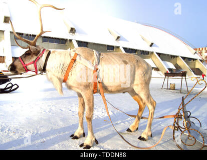 Symbol of Christmas - reindeer pulled in a sleigh with beautiful horns standing on the snow on a Sunny winter day - Stock Photo
