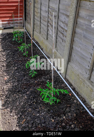 Row of four seedling tomato plants in the soil and attached to a bamboo canes.  Wooden fence in the background. - Stock Photo