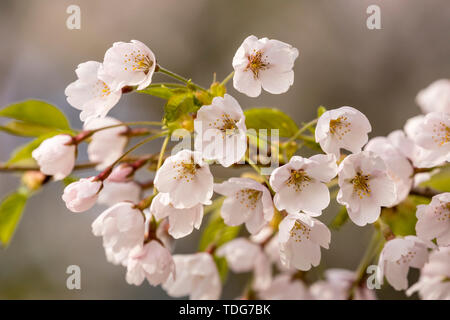 A group of white cherry blossoms with pink tint. - Stock Photo