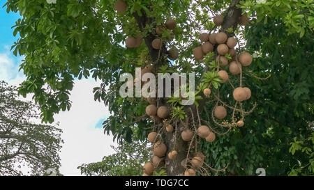 close up of the unusual cannonball tree growing on a tree in rio de janeiro, brazil - Stock Photo