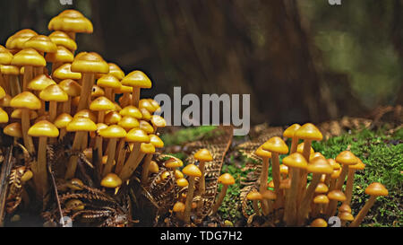 close up of a yellow clump of fungi growing in the tarkine rain forest on the west coast of tasmania, australia - Stock Photo