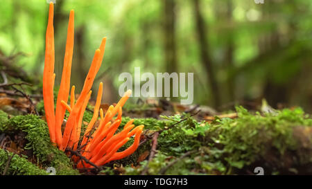unusual orange fungi growing in the tarkine rainforest on the west coast of tasmania, australia - Stock Photo