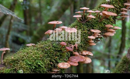 shot of brown fungi growing on a tree branch in the tarkine rainforest on the west coast of tasmania, australia - Stock Photo