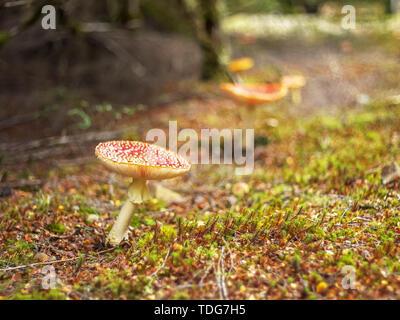 several fly amanita fungi growing in the tarkine rainforest on the west coast of tasmania, australia - Stock Photo