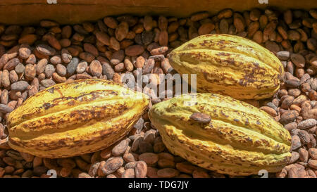 ripe yellow cacao pods on dried beans in ecuador - Stock Photo